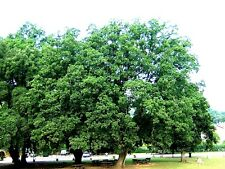 QUERCUS ROBUR 40 piante alveolo OFFERTA! Farnia quercia English pedunculate oak