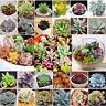 Mixed 100 Rare Succulent Seeds Lithops Living Stones Plants Cactus Exotic Plant