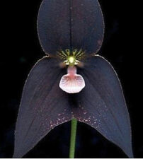 Black Monkey Face Orchid Plant Seed 80 SEEDS--BUY 4 ITEMS FREE SHIPPING