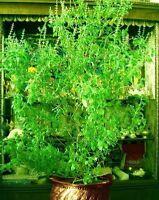 Tulasi. Holy basil *Ocimum sanctum* Herb seeds