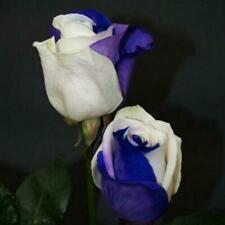#Purple Fresh New Rose Flower Seeds 50 Plant Garden Home Fragrant Free Shipping