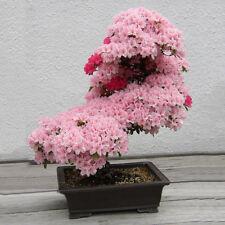 10Pcs Flower Seeds Cherry Bonsai Bonsai Tree Japanese New Blossoms Sakura Seeds
