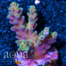 Asd - 023 Kings Throne Acropora - Wysiwyg - Aqua Sd Live Coral Frag