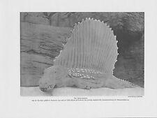 Dimetrodon pelycosaurier Pelycosauria pelycosaurus presión de 1912 dinosaurios