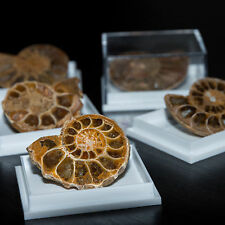 Polished Ammonite Fossil From Madagascar in Display Gift Case Jurassic Period