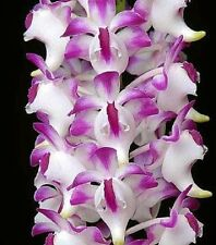 100x Aerides lawrenceae Orchids seeds orchid - - Seeds B597