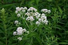 Boneset- Eupatorium Perfoliatum- 100 seeds- BOGO 50% off SALE