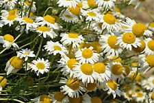 Real Chamomile Seeds,Matricaria Chamomilla,Altbekannte Medicinal Plant,Knows