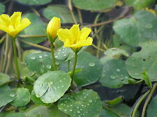 Nymphoides peltata (Water Fringe) bare root plant (free postage).