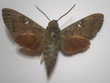 Insect/Butterfly/Moth Set/Spread B6111 Sphingidae Lge Au Dark Red Hawk Moth 7 cm