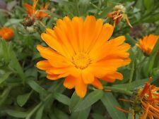 Marigold - Calendula officinalis - 20+ seeds - Medicinal flower!