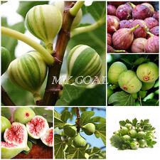 200Pcs Honey Fig Seeds Juicy Wild Very Sweet Organic Tree Garden Friut Plant New