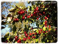 Cornus mas 'Cornelian Cherry' [Prov. United Kingdom] 15+ SEEDS