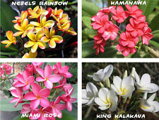 15 Plumeria (Frangipani, Hawaiian Lei Flower) Seeds, Exotic Home Plant Mixed