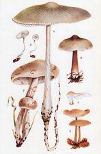 1940's vintage MUSHROOM VARIETIES original off-set botanical print XII