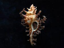Sea Shells Chicoreus spectrum 94mm ID#3799C