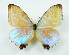 Morpho lympharis ssp. eros Männchen