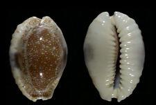 6799 Erosaria (Cypraea) erosa erosa - 36,0 mm - GEM - Samoa - VERY CALLOUSE!!!