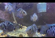 New listing Convict Cichlid Live Freshwater Aquarium Fish 1-3in