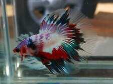 (LimitedOffer!) Premium Live Betta Fish l Male Halfmoon Candy A32