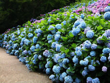 30Pcs Hydrangea Flowers Seeds Rare 22 Colours Beautiful decorations Home Garden