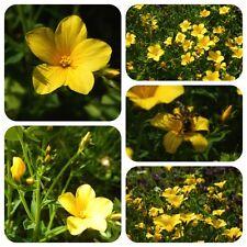 Gelber Lein Linum flavum seltene Wildpflanze Bienenweide