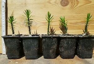 1 Araucaria araucana Chilenische Schmucktanne Affenbaum Andentanne Schuppentanne