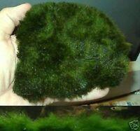 Matte Gras schnellwüchsige Wasserpflanzen für das Aquarium gegen Algen Dekoideen