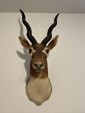Indian Black Buck Antelope Forward-Facing Shoulder Mount Taxidermy