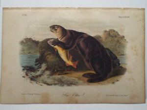 Audubon Quadrupeds  Print Volume 3 1854 Sea Otter Plate CXXXVII