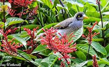 Red Firespike Plant Attracts birds Stunning bright colour, Easy, Low Maintenance