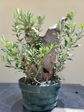 Old Fruiting Olive Tree, Bonsai Tree, Sale