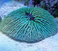 "Live Coral Robbie's Coral Aquacultured Ultra Plate Coral 2""-21/2"" SALE Reg$39.99"