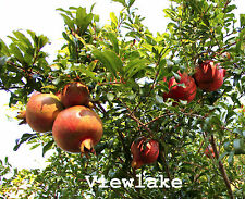 Russian Pomegranate Tree -Cold Hardy - for flowers and big sweet fruit