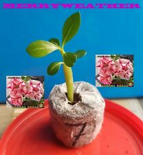 ❀●⊱ ADENIUM OBESUM DESERT ROSE ❁ MERRYWEATHER ❁ PLUG PLANT + COCO COMPOST ⊰❀