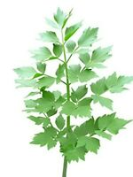 100 Samen Maggikraut - Liebstöckel -  Levisticum officinale Liebstock mehrjährig