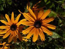 Sonnenhut gelb   Sonnenhut rudbeckia hirta Samen Blumen Rarität