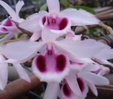 VARIEGATED LEAVES FRAGRANT DENDROBIUM ANOSMUM ORCHID SPECIES PREVIOUSLY BLOOMED