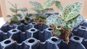 Macodes Petola, ' Lightening Bolt  Jewel Orchid ' , South Florida Grown
