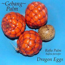 ~DRAGON EGGS~ Raphia farinifer ~GEBANG PALM~ from Madagascar V RARE 3 SEEDS