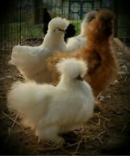 6 Mini Silkie, Frizzle, Sizzle And Satin Hatching Eggs (last set available)