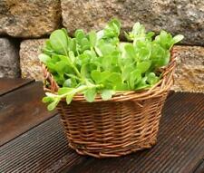 Seeds Antitoxin Purslane Green Purify Body Vegetable Organic Heirloom Ukraine