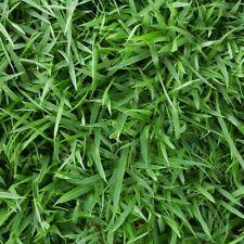 Zoysia Empire grass seeds 1/8 lb