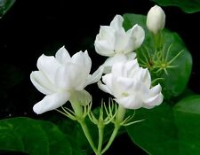 "Jasmine Sambac- Double Flowers - 1 Plants - 10"" to 1 Feet Tall - Ship in 4"" Pot"