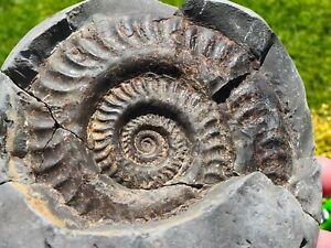 AMMONITE FOSSIL WHITBY GENUINE YORKSHIRE