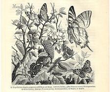 Stampa antica FARFALLE Vanessa Papilio BUTTERFLIES 1891 Old antique print