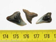 3 dents fossiles d Hemipristis Serra des Faluns ( 008 )