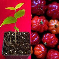 Plant ~SURINAM CHERRY~ FRUIT TREE Eugenia uniflora Mature Older LG Potd 3-4ft