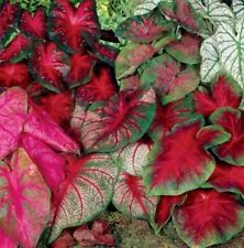 1 Large/Size #1 (1.5-2.5 Inches) Caladium Bulbs Mix Colors - Already Sprouting!