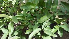 Dried Guava Guajava Myrtle Psidium Leaves 30gram - FREE Shipping